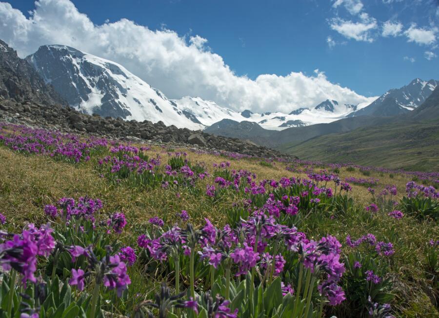В горах Тянь-Шаня, цветущая примула