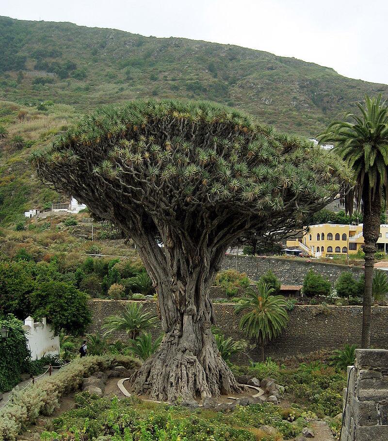 Одно из древнейших драконовых деревьев в Икод де лос Винос, Тенерифе