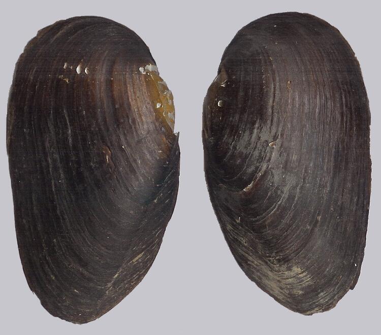 Моллюск-жемчужница