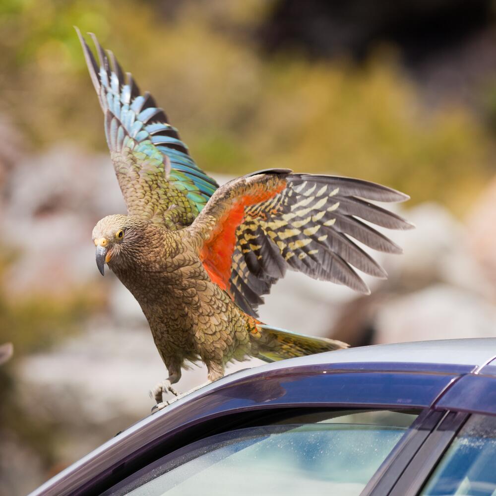 Почему попугаи кеа не стали символом Новой Зеландии?