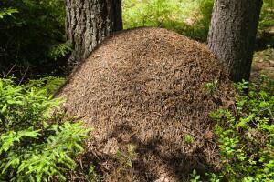 Чем интересен симбиоз деревьев и муравьёв?