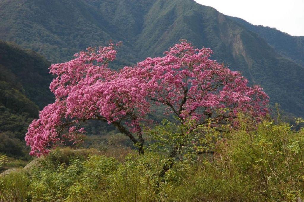 Муравьиное дерево - розовое лапа́чо