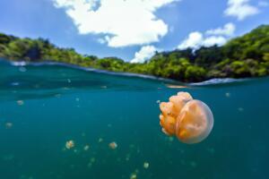 Зачем Золотые медузы выращивают сады?