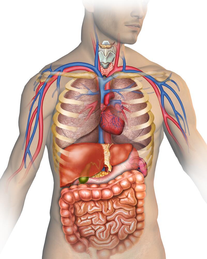 Foto anatomia umana organi