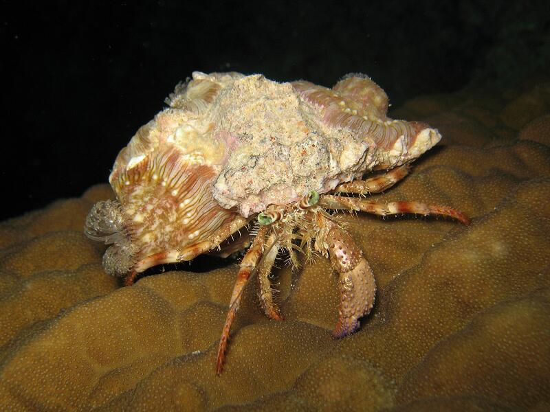 Рак-отшельник Dardanus pedunculatus с актиниями на поверхности раковины