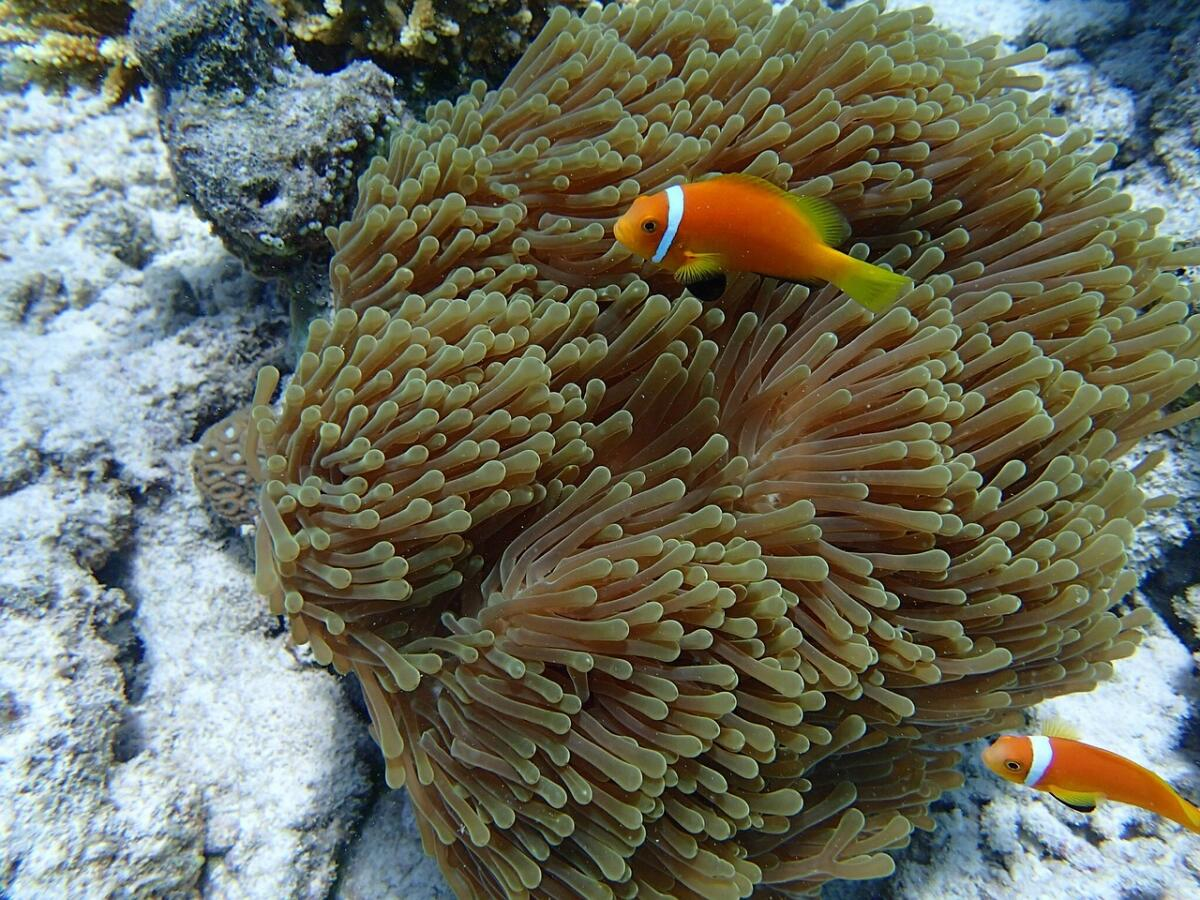 Рыбы-клоуны рядом с актинией