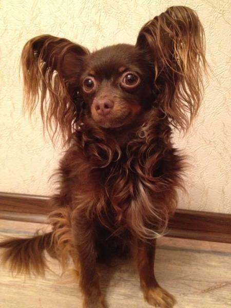 Маленькая собачка с большими амбициями: кто такой русский той?