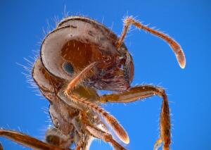 Чем занимаются муравьи-фермеры?