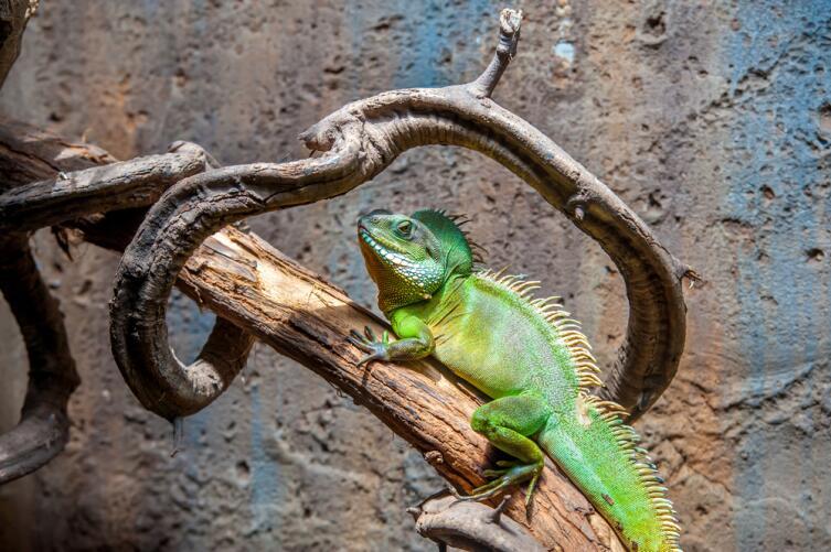 Как содержать экзотическое животное в домашних условиях? Игуана