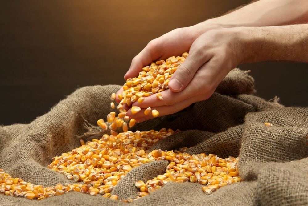 Царица полей – кукуруза. Что можно приготовить? Спирт!
