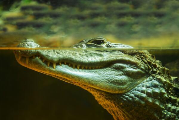 Как содержать экзотическое животное в домашних условиях?  Крокодил.