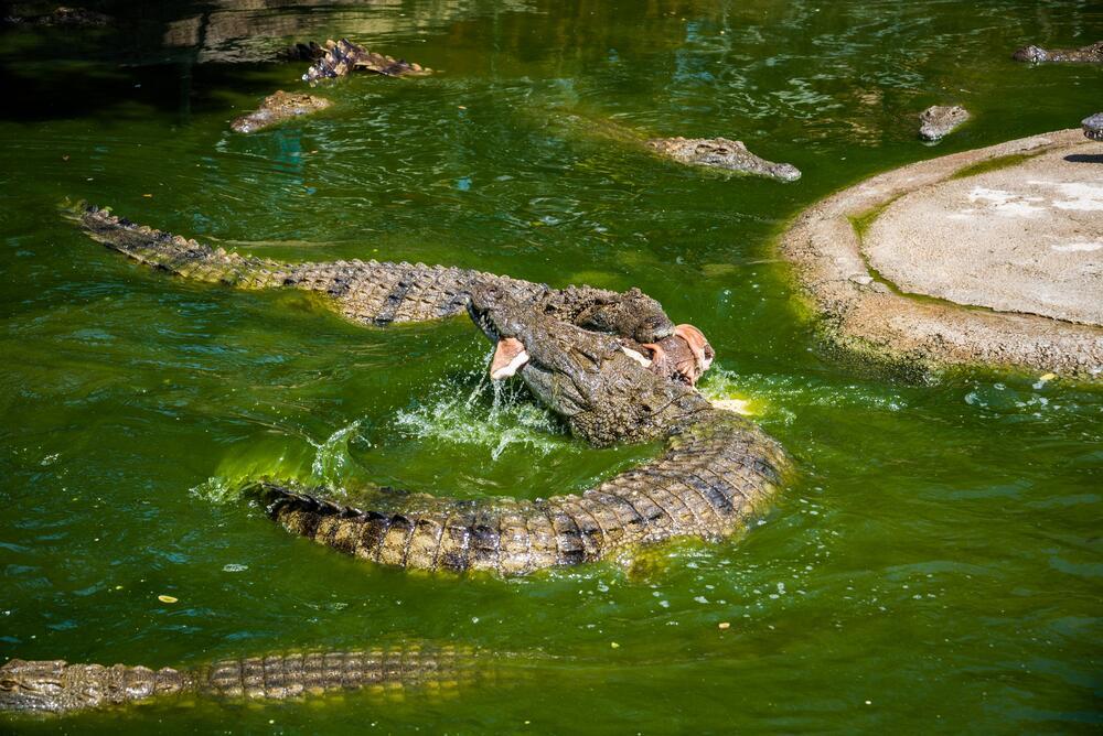 Как содержать экзотическое животное в домашних условиях?  Крокодил