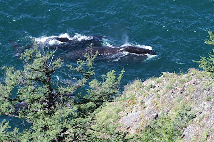 Гренландские киты в проливе Линдгольма