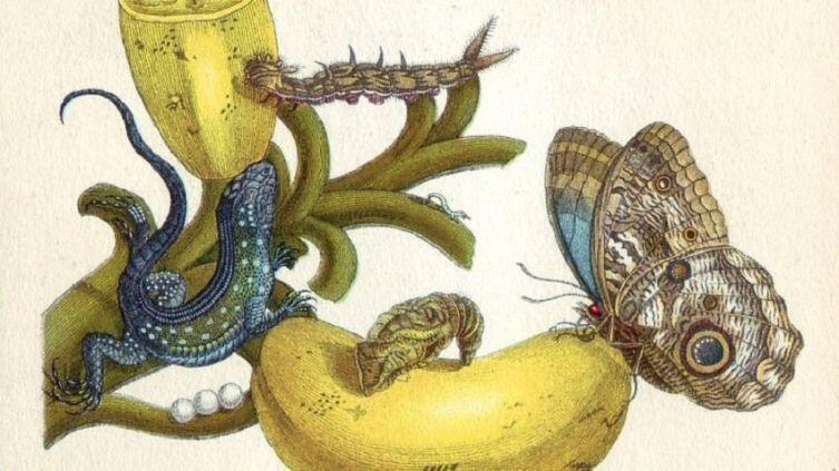 Фрагмент иллюстрации из книги «Metamorphosis insectorum surinamensium» работы Марии Сибиллы Мериан
