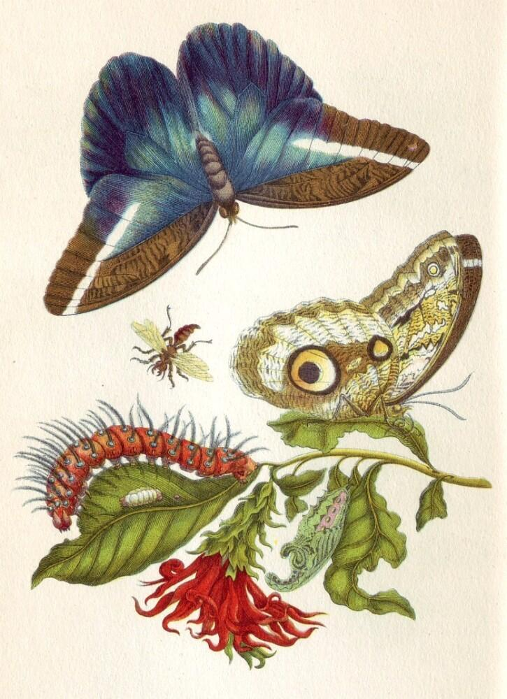Иллюстрация из книги «Metamorphosis insectorum surinamensium» работы Марии Сибиллы Мериан