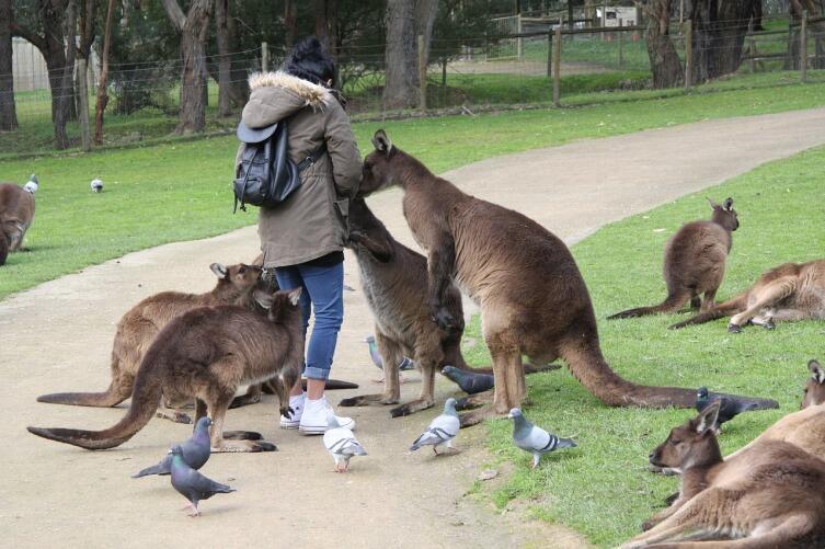 Кто такие кенгуру?