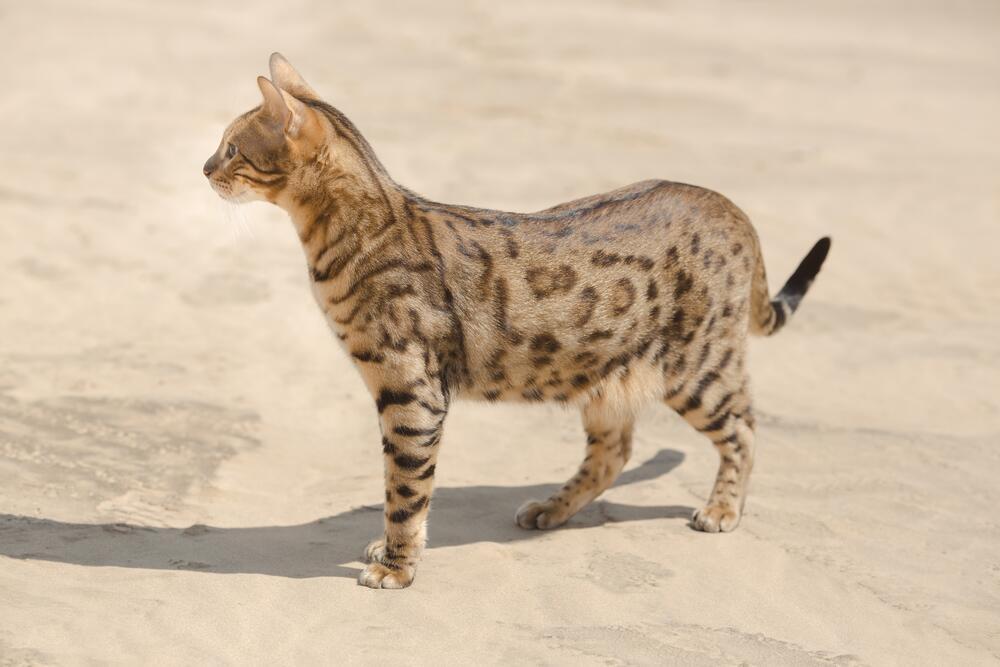Существует ли домашняя кошка-леопард? Любой каприз за ваши деньги!