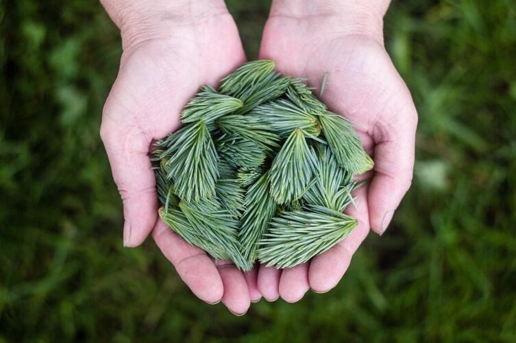 Как изготовить пряжу из сосновых иголок?