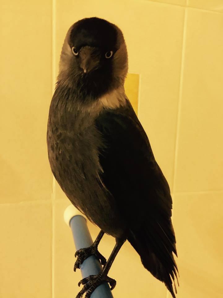 Голубоглазые брюнетки из птичьего мира, или Что мы знаем о галках?