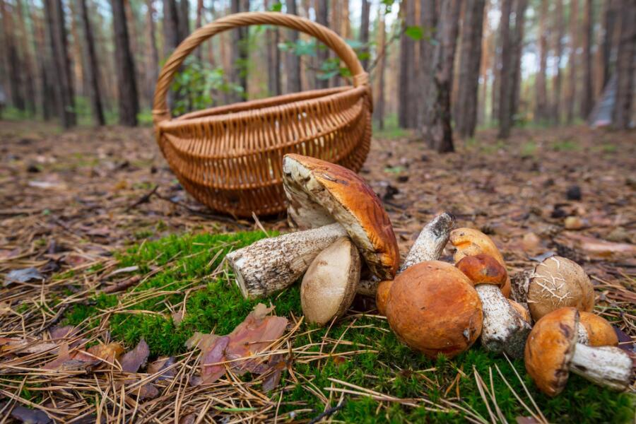 Как мы ходим по грибы?