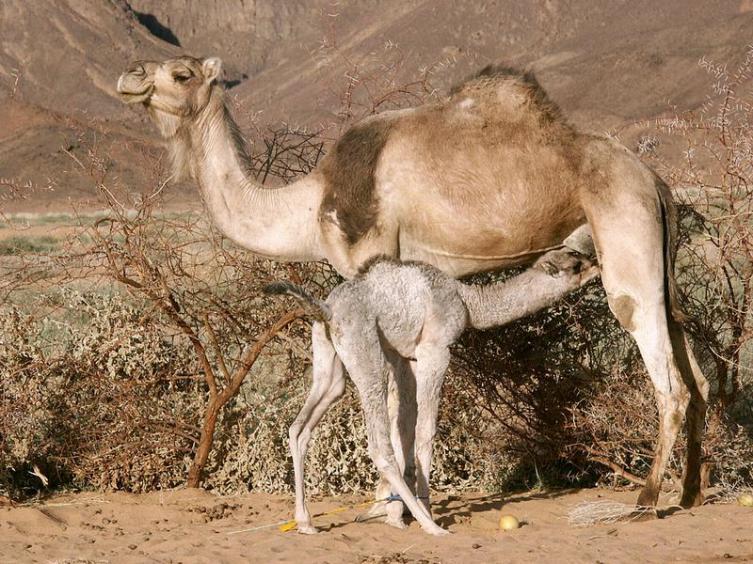 Сага о верблюде. Чем дромадер от бактриана отличается?