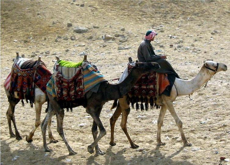 Сага о верблюде. Легко ли на верблюдах скакать и воевать?