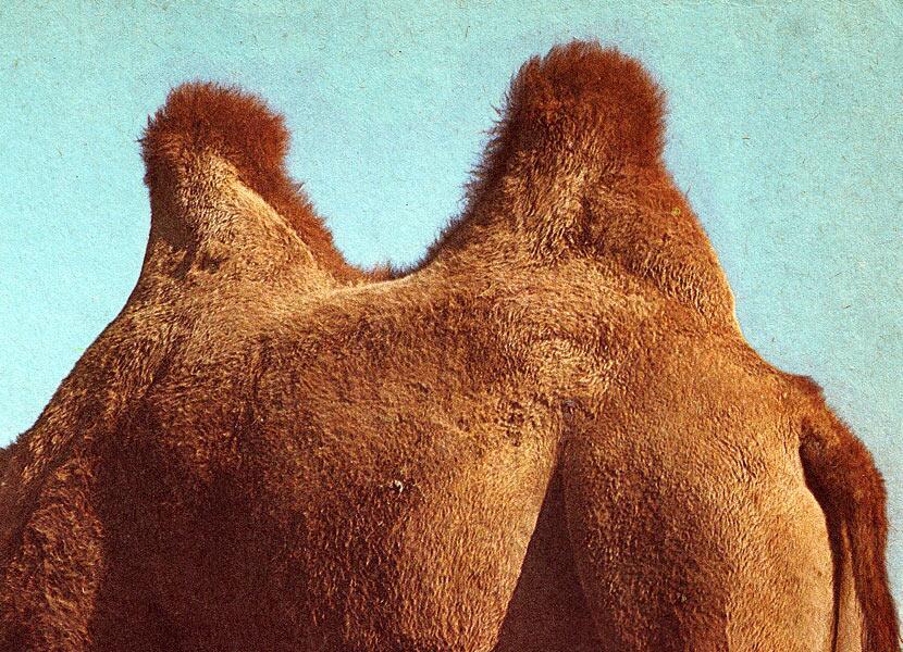Сага о верблюде. Как устроен «корабль пустыни»?