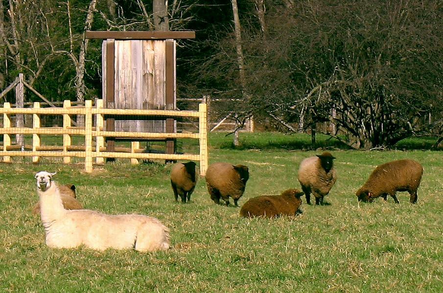 Лама - овечий сторож