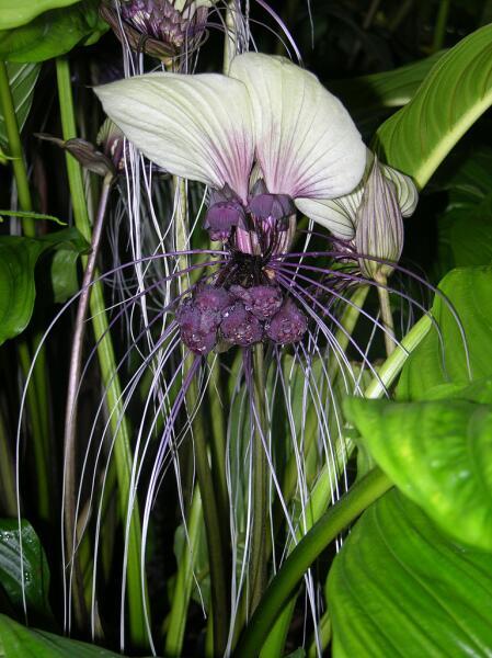 Соцветие такки цельнолистной
