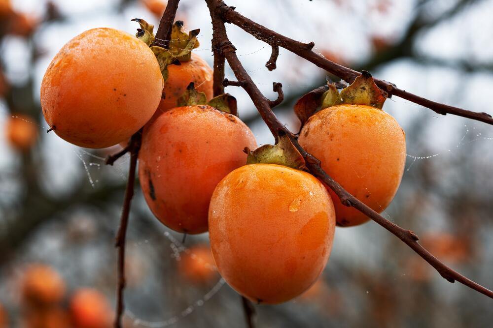 Какой фрукт поддержит организм зимой? Хурма
