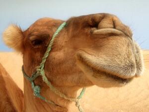 Сага о верблюде. Почему он столь надменен?