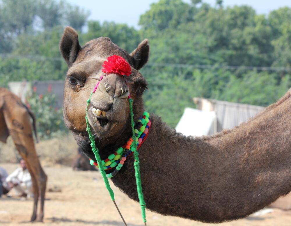 Как приспособился верблюд к жизни в пустыне