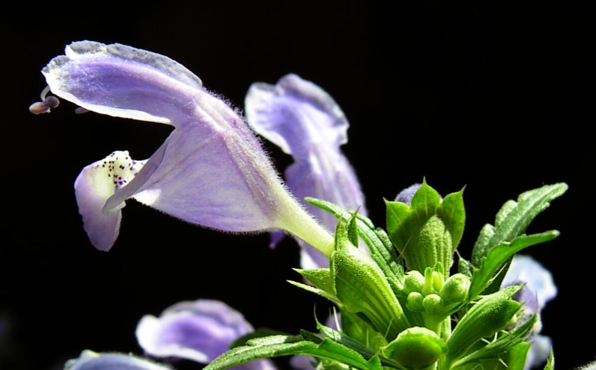 Цветки змееголовника молдавского, сорт Горыныч