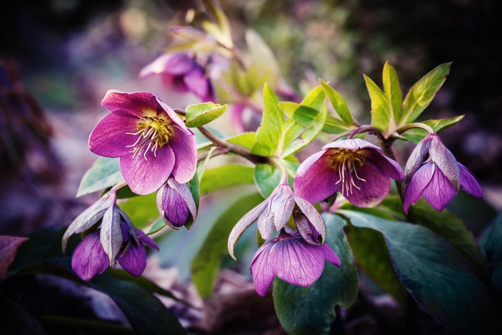 Фиолетовый морозник или рождественская роза