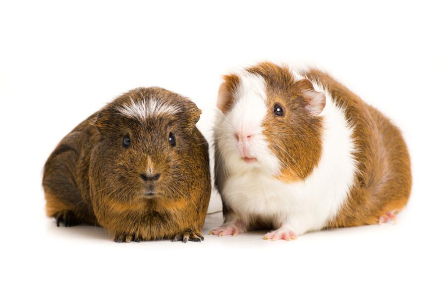 Как общаются морские свинки?