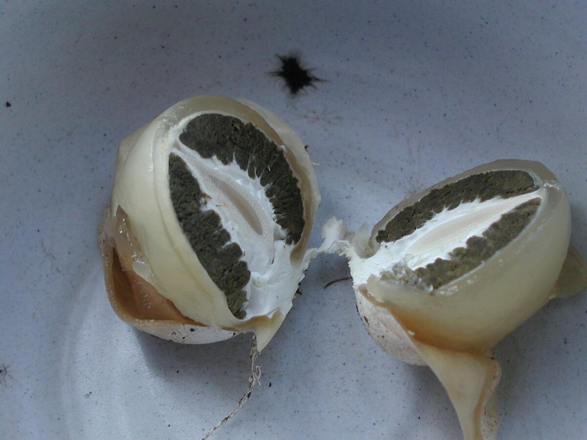 Весёлка в стадии «яйца» в разрезе