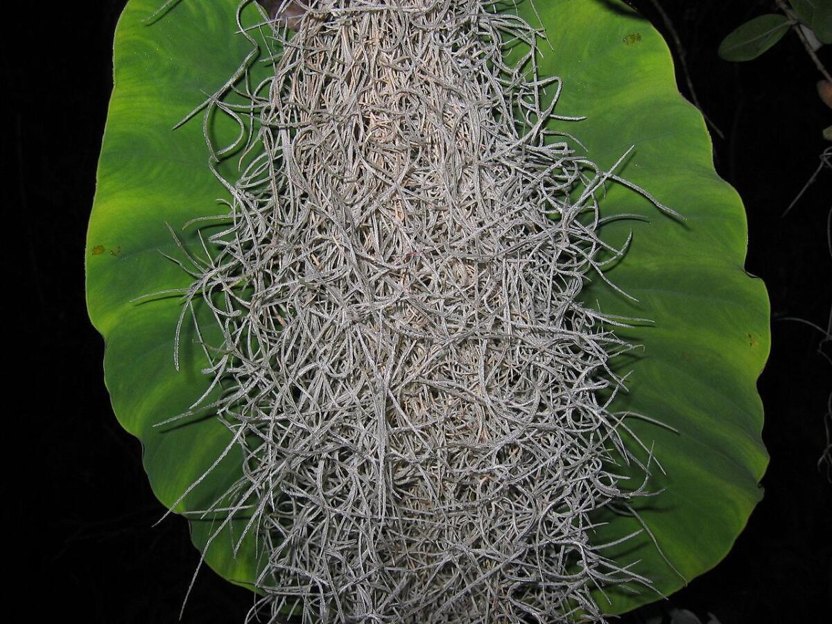 Виды тилландсий  FloweryValeru