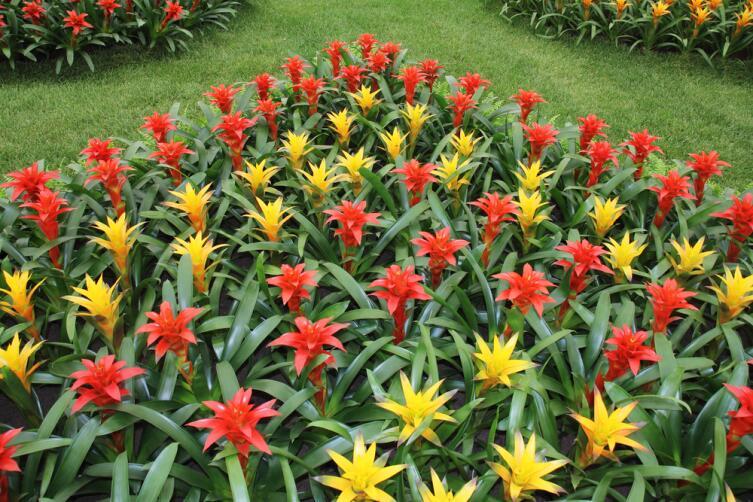 Гусмания близкая родственница тилландсии, обе из семейства Бромелиевые (Bromeliaceae)