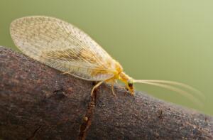 Какие насекомые полезны для лесов и огородов? Златоглазка-флерница