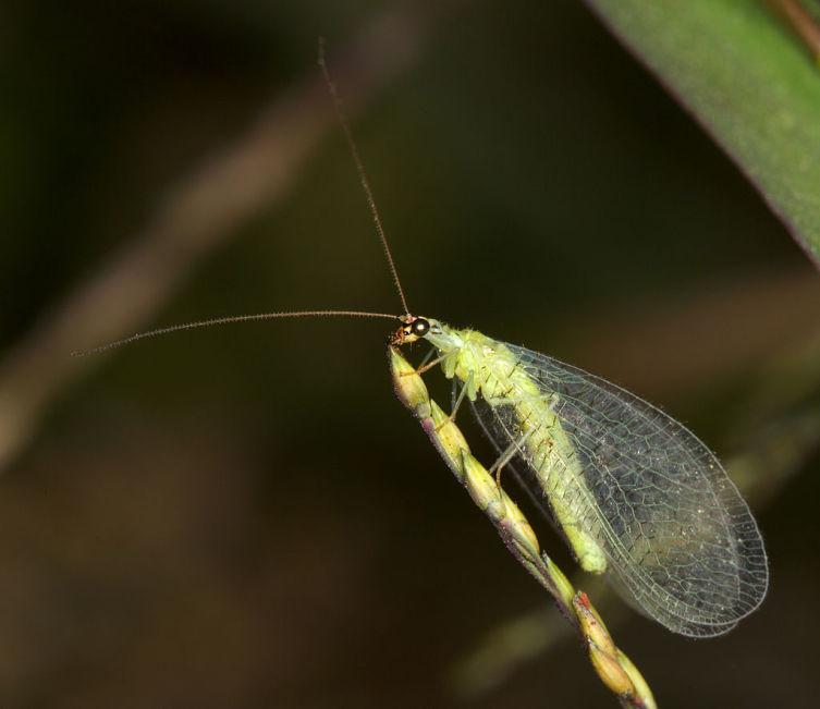 Обыкновенная златоглазка, Chrysopa oculata