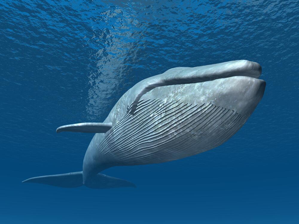 фото синій кит