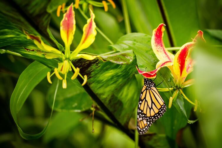 Глориоза. Как вырастить на подоконнике пламенный цветок?