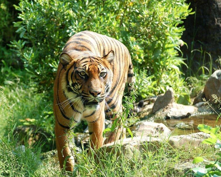 Станьте тигром!