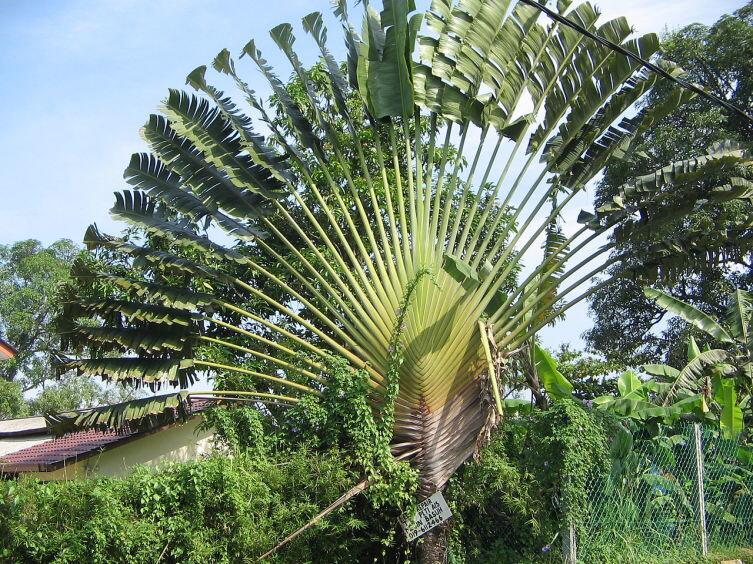 Равенала Мадагаскарская