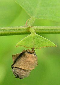 Бочковидно свёрнутый лист трубковёртом Apoderus erythrogaster