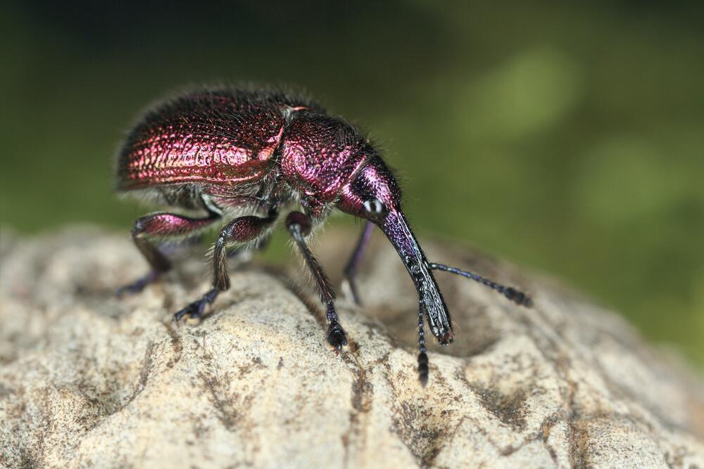 Маленький архитектор из мира насекомых. Чем интересен жук трубковёрт?