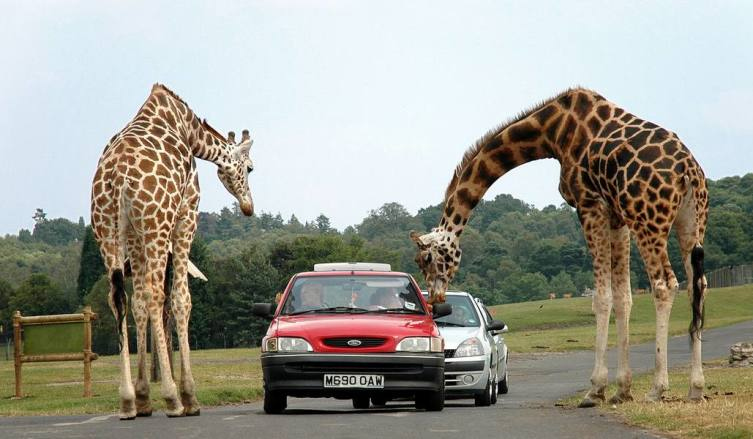 Сетчатые жирафы