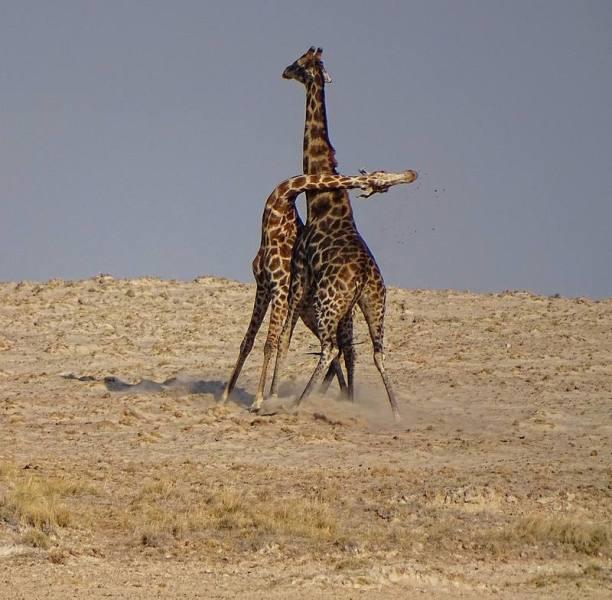 Почему жираф не падает в обморок?