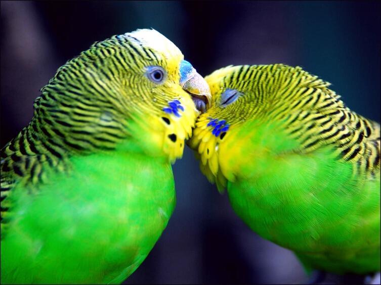 Как отличить самца волнистого попугая от самки?