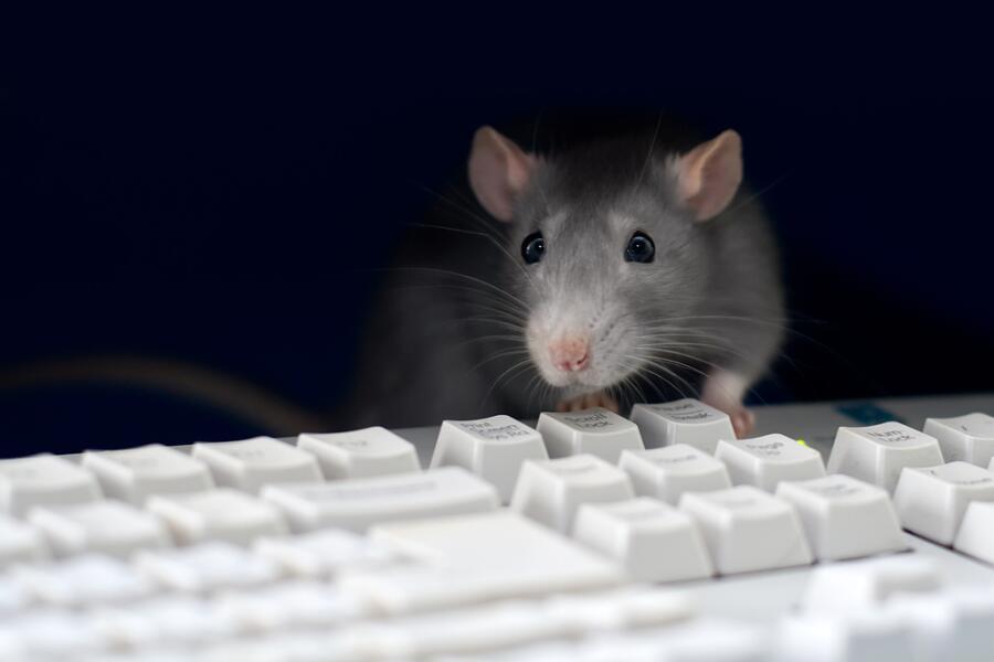 Всемирный день крысы. На что способны эти грызуны?